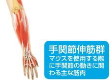 Wrist extensor muscle group